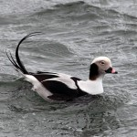 Long tailed Duck male Burghead 3 Feb 2013 Gordon Biggs