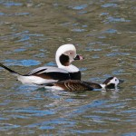 Long tailed Ducks Burghead 1 Feb 2013 Tony Backx 1
