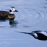 Long tailed Ducks Burghead 11 Jan 2013 Tony Backx