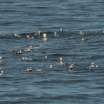 Long tailed Ducks Burghead 16 Jan 2016 Tony Backx P