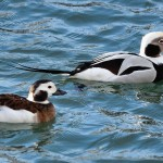 Long tailed Ducks Burghead 19 Jan 2013 David Main
