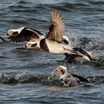 Long tailed Ducks Burghead 25 Nov 2016 Tony Backx 1 P