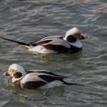 Long tailed Ducks Hopeman harbour 29 Jan 2014 Alison Ritchie
