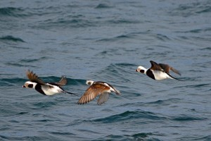 Long-tailed Ducks, Lossiemouth 14 Mar 2014 (Gordon Biggs)