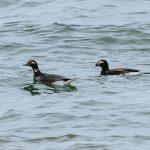 Long tailed Ducks Portgordon 2 May 2018 Tony Backx 1