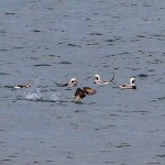 Long tailed Ducks off Findhorn 19 Nov 2014 Mark Shewry