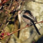 Long tailed Tit Hopeman 19 Mar 2017 Eddie Pratt