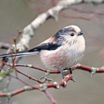 Long tailed Tit Loch Spynie 27 Dec 2013 Gordon Biggs