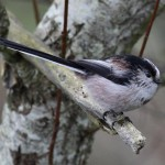 Long tailed Tit Loch Spynie 28 Jan 2013 Gordon Biggs