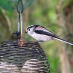 Long tailed Tit Loch Spynie 28 Sep 2016 Lisa Stewart
