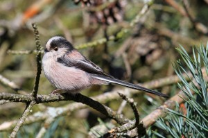 Long-tailed Tit, Lossiemouth 26 Mar 2014 (Gordon Biggs)