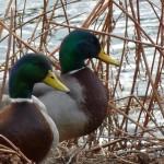 Mallard, Loch Oire 16 Feb 2015 (Bob Proctor)