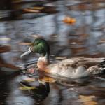 Mallard x Pintail hybrid Mosset duck pond Forres 1 Nov 2015 Allan Lawrence 1