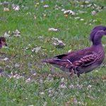 Mandarin Duck Cawdor 16 Jun 2018 Jack Harrison 3