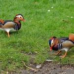Mandarin Duck Cooper Park 14 Sept 2015 Gordon Biggs