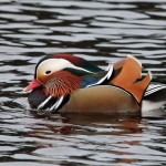 Mandarin Duck Cooper Park 21 Jan 2013 Gordon Biggs 1