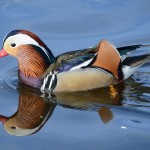 Mandarin Duck Cooper Park 29 Mar 2016 Gordon Biggs P