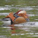 Mandarin Duck Cooper Park 4 Oct 2017 Hugh Clark