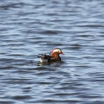 Mandarin Duck Loch Spynie 8 Apr 2015 David Burkinshaw