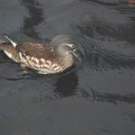 Mandarin Duck Mosset Pond Forres 2 Nov 2013 Allan Larwrence