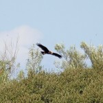 Marsh Harrier Loch Spynie 27 Aug 2014 Gordon Biggs 4