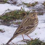 Meadow Pipit, Aitnoch 2 Apr 2015 (Alison Ritchie)