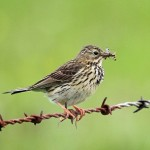 Meadow Pipit Glenlivet 23 June 2014 Gordon Biggs