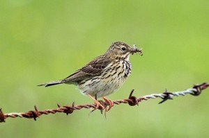 Meadow Pipit, Glenlivet 23 June 2014 (Gordon Biggs)