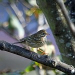 Meadow Pipit, Lossiemouth 10 Oct 2014 (Gordon Biggs)