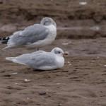 Mediterranean Gull 1 Lossie estuary 18 Oct 2015 David Main
