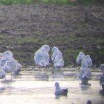 Mediterranean Gull Balormie pig farm 30 Sep 2017 Bob Proctor