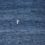 Mediterranean Gull Burghead 7 Oct 2012 Al McNee
