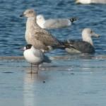 Mediterranean Gull Loch Spynie 28 Feb 2016 Duncan Gibson