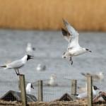 Mediterranean Gull Loch Spynie 29 Mar 2014 Gordon Biggs 1
