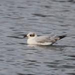 Mediterranean Gull Loch Spynie 29 Mar 2014 Gordon Biggs 2
