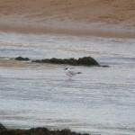 Mediterranean Gull Lossie estuary 12 Jul 2015 Duncan Gibson