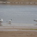 Mediterranean Gull Lossie estuary 12 July 2014 Duncan Gibson 2
