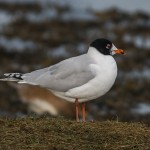 Mediterranean Gull Lossie estuary 12 March 2015 David Main 2