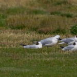 Mediterranean Gull Lossie estuary 16 Jul 2015 David Main