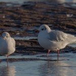 Mediterranean Gull Lossie estuary 17 Jan 2016 David Main P