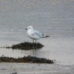 Mediterranean Gull Lossie estuary 19 Oct 2014 Duncan Gibson