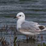 Mediterranean Gull Lossie estuary 21 Oct 2014 David Devonport 1