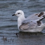 Mediterranean Gull Lossie estuary 21 Oct 2014 David Devonport 2