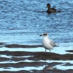 Mediterranean Gull Lossie estuary 21 Oct 2015 Martin Cook