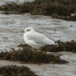 Mediterranean Gull Lossie estuary 24 Aug 2014 Duncan Gibson