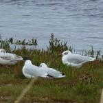 Mediterranean Gull Lossie estuary 3 Sep 2015 Bob Proctor