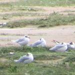 Mediterranean Gull Lossie estuary 30 Jul 2017 Bob Proctor