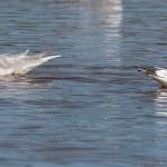 Mediterranean Gull Lossie estuary 9 Oct 2015 David Main