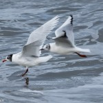 Mediterranean Gull Portgordon 21 Feb 2016 David Main 1P