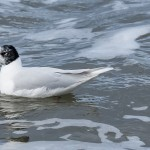 Mediterranean Gull Portgordon 21 Feb 2016 David Main 2P